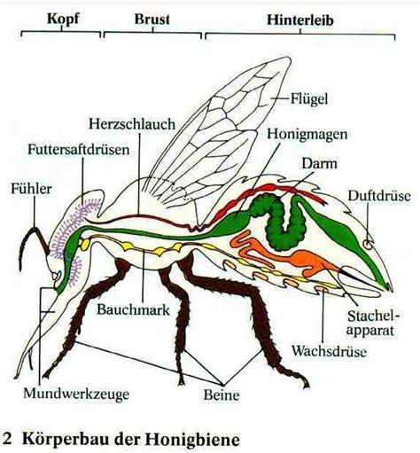 wie sieht die erde innen aus wie sieht die biene innen aus biologie