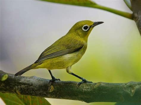 mengenal macam jenis burung pleci beserta gambar suara dan harga burung
