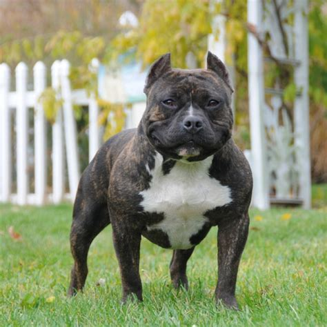 american bull puppy american bully breed information and facts