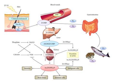 vitamin d carbohydrates vitamin d metabolism dbp vitamin d binding protein pth