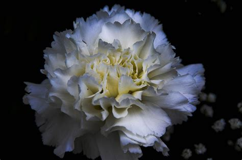 facts about carnations 7 most beautiful carnation flowers