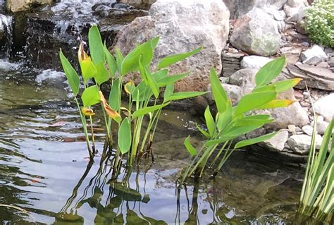backyard pond plants why are my pond plants turning yellow premier ponds