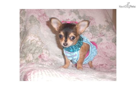 teacup chihuahua puppies for sale near me chihuahua puppy for sale near tulsa oklahoma 444599bf 2b71