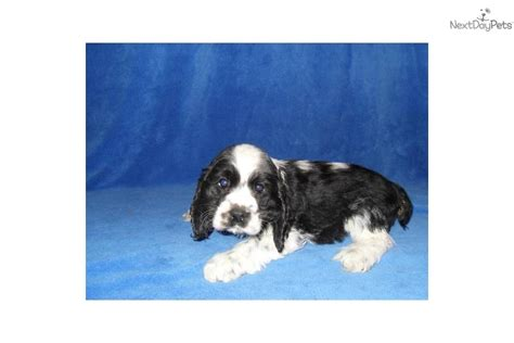puppies for sale in binghamton ny cocker spaniel for sale for 500 near binghamton new york 72a932a7 4991
