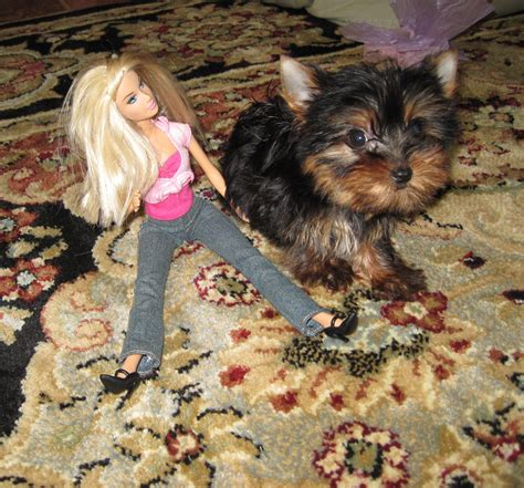 teacup yorkie grown weight grown morkie weight breeds picture