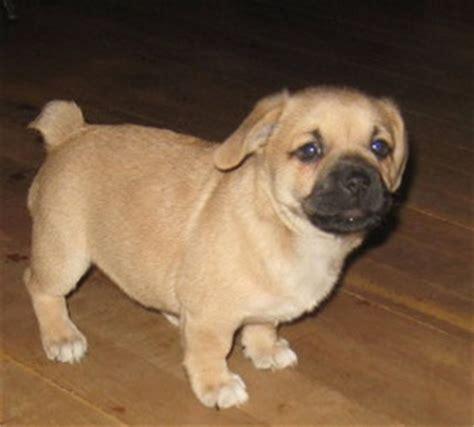 pug and corgi mix adopt corgi pug puppies on animals and pets