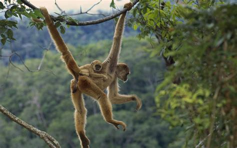 animals that swing from trees animals zoo park baby monkey wallpapers monkey baby