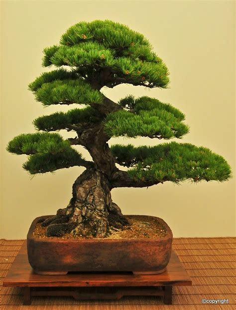 bonsai tree jp black pine bonsai pinterest