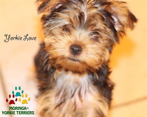 yorkie puppy care guide terrier puppies care tips breeds picture