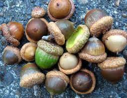 dogs acorns can dogs eat acorns