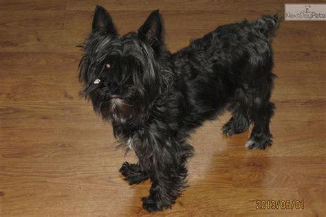 schnoodle puppies rescue schnoodle puppies photograph adopt mid a schnoodle pupp