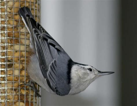 white breasted nuthatch mdc discover nature