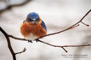 Blue Bird L by Snow Covered Angry Bluebird Stephen L Tabone Nature