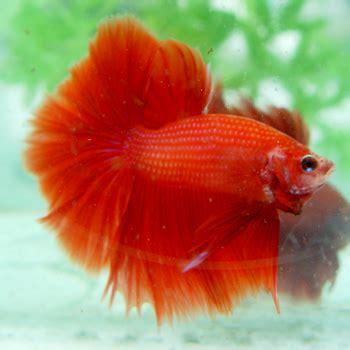 Pakan Ikan Cupang Anakan Selain Kutu Air aquarium aq ikan cupang