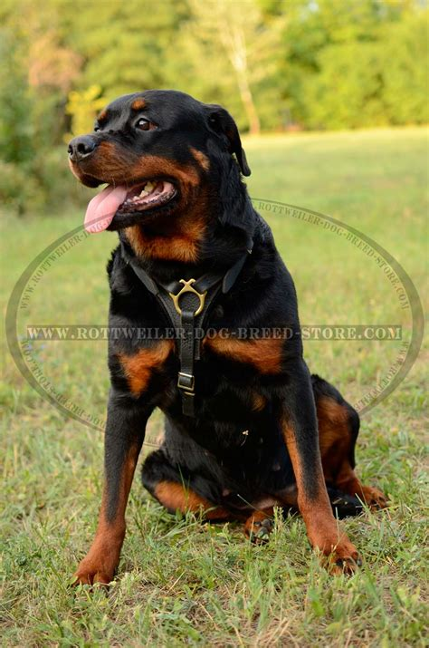 how much walking does a rottweiler need tracking and walking leather harness for rottweiler h3 1018 handmade tracking
