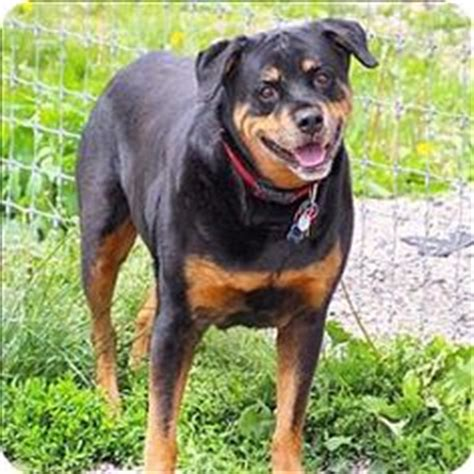 rottweiler rescue ranch 1000 ideas about last chance on rob hill second chances and rob hill sr