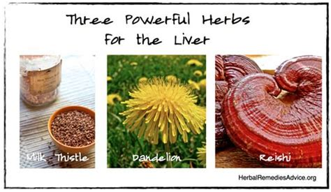 How To Detox A Sluggish Liver by Hepatic Herbs For Liver Can Increase Liver Function And