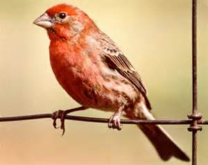 house finch audubon society of portland