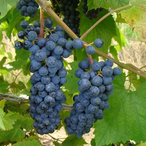 buy mar 233 chal foch grafted grape vines for sale double