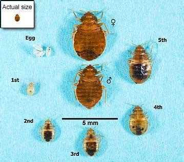 bed bug eggs size bed bugs appearance and life cycle bed bugs get them out and keep them out us epa
