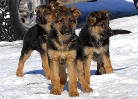 german shepherd puppies colorado german shepherd dogs and puppies photo gallery