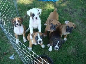 Mini boxer puppies akc boxer puppies for sale