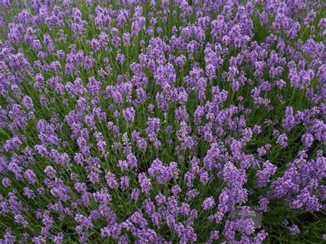 cambridge england botanic garden munstead lavender