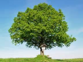 garten pflanzen lexikon schnellwachsende b 228 ume f 252 r den garten laubbume laubbaum