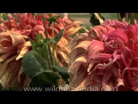 Jual Bibit Bunga Dahlia jual bibit bunga dahlia sms 089611410430 benihbunga