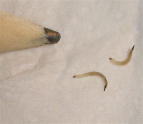 black worm like bug in bathroom unknown worm larvae like bug found in bathtub psychoda