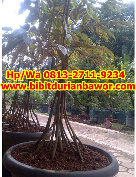 Bibit Durian Bawor Sarno bibit durian musang king archives penjual bibit durian