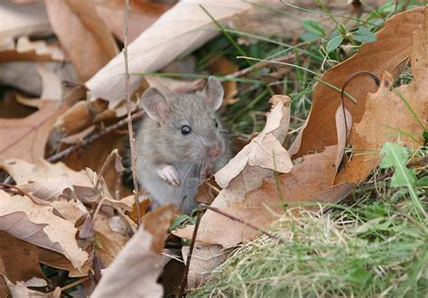 maryland house rest stop bill hubick photography house mouse mus musculus