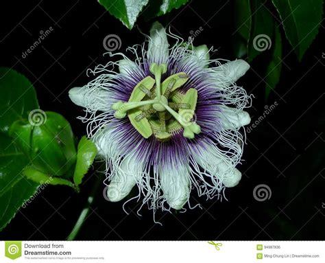 frutto della passione fiore fiore frutto della passione fotografia stock