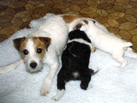 puppies nursing the singleton puppy susan garrett s