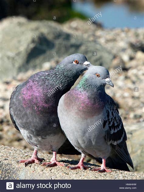 imagenes de palomas ok imagenes de palomas ok paloma macho a la izquierda y a la