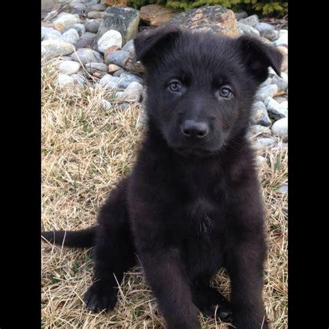 all black german shepherd puppies best 20 black german shepherd puppies ideas on black german shepard