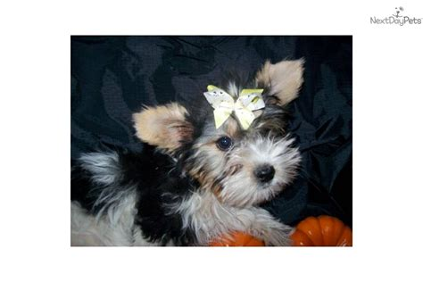 puppies for sale in idaho falls yorkie puppies for sale idaho breeds picture