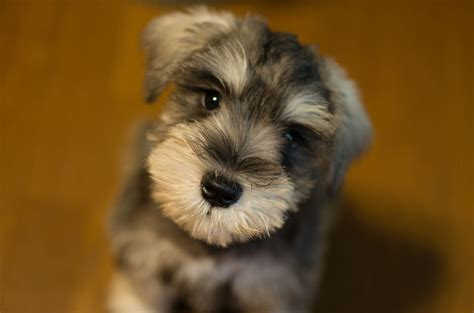 miniature schnauzer dog breed miniature schnauzer information dog breeds at thepetowners
