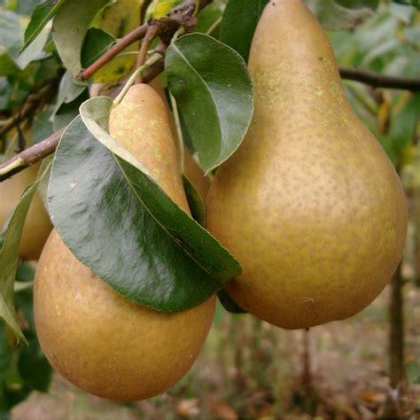 ornamental pear tree fruit pear beurre hardy buy pear trees purchase pear fruit trees
