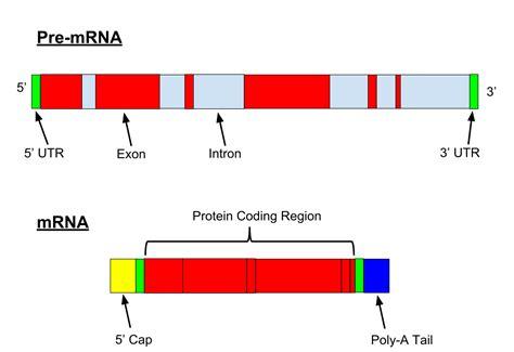 m protein definition precursor mrna