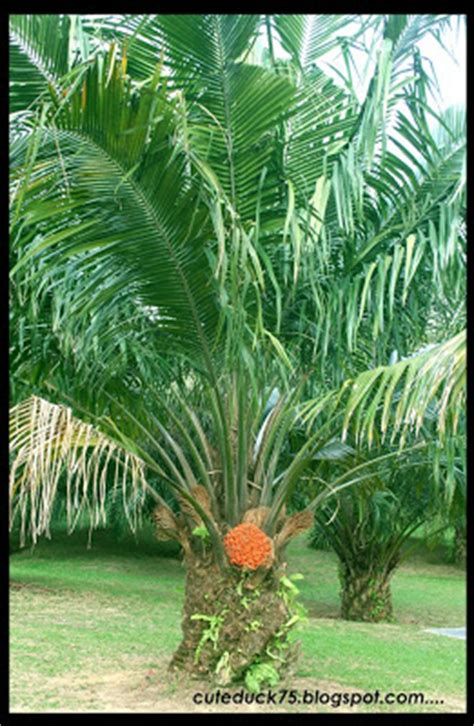 Biji Kelapa Hitam Unik Energi the story of my journey my taman warisan pertanian putrajaya part 2