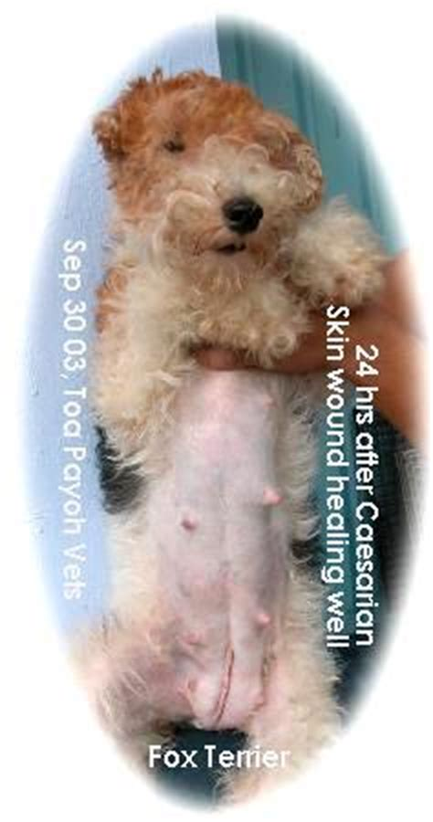 how after green discharge are puppies born 031001asingapore veterinary dystocia emergency caesarians schnauzer maltese fox