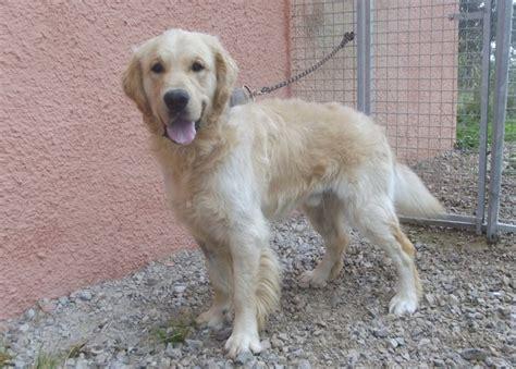 type golden retriever guizmo chien type golden retriever 224 adopter dans la r 233 gion franche comt 233