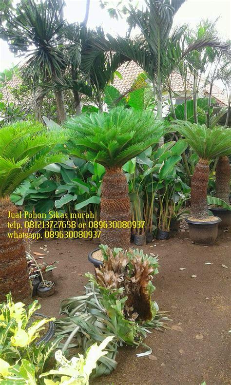 gambar pohon sikas pakis haji jual pohon sikas murah