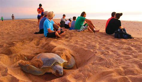 turtle nesting nirvana dundee beach australian traveller