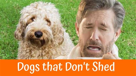 breeds of dogs that don t shed 28 large dogs that don t breeds that don t shed puppies