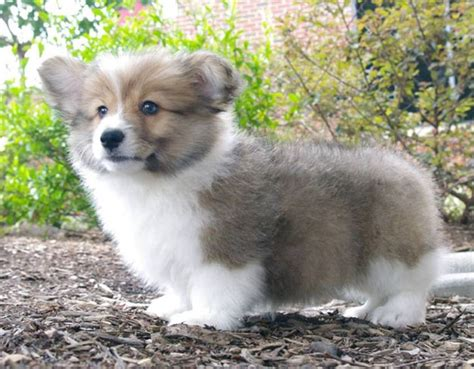 fluffy corgi puppies for sale puppies fluffy breeds picture