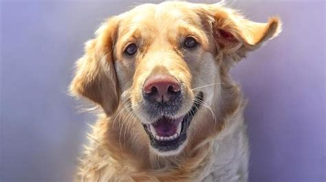 are golden retrievers expensive the most expensive dogs to buy and keep
