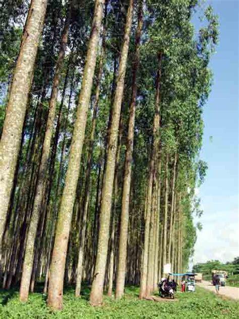 Bibit Acacia Mangium teknik pembibitan pohon akasia