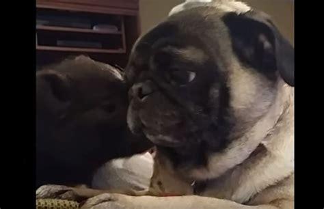 pig and pug a pug and pig really like each other like a lot